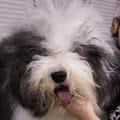 ShaggyChef Reg'd Old English Sheepdogs